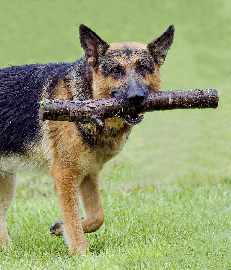 German Photograph - German Shepherds by David Lester