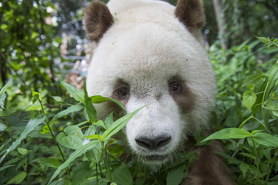 Giant Panda Brown Morph China Photograph by Katherine Feng