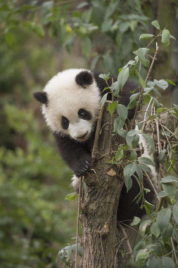 Giant Panda Cub Chengdu Sichuan China Photograph by Katherine Feng