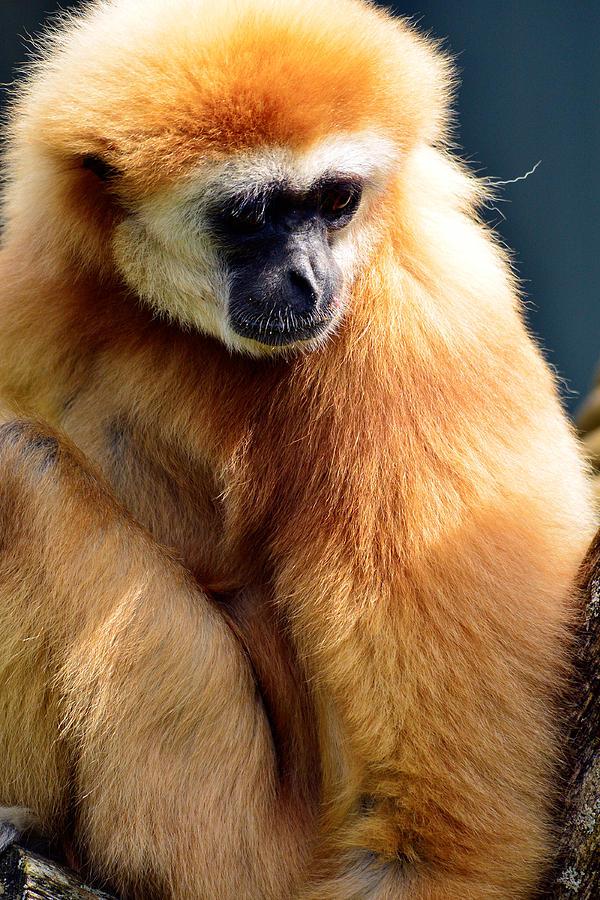 Animal Mixed Media - Gibbon Monkey  by Tommytechno Sweden