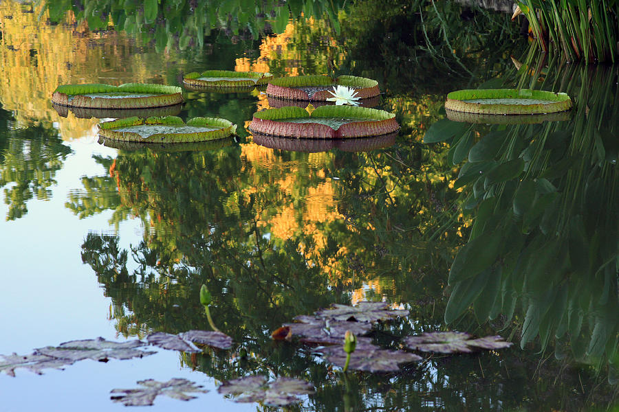 Water Lily Photograph - Gold Reflections by John Lautermilch