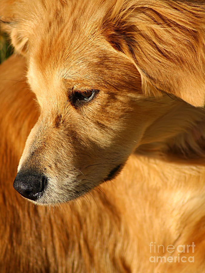Adorable Photograph - Golden by Darren Fisher