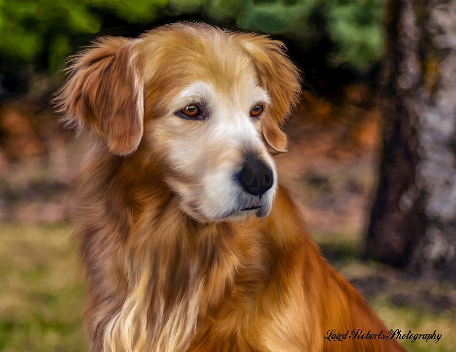 Animal Photograph - Golden Retriever by Laird Roberts