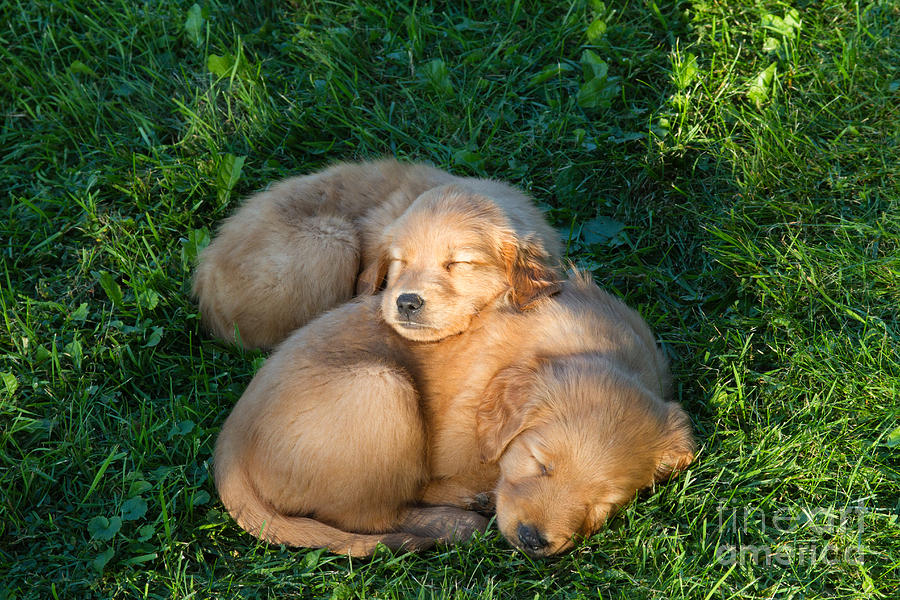 Nature Photograph - Golden Retriever Puppies Sleeping by Linda Freshwaters Arndt