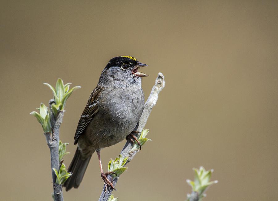 Doug Lloyd Photograph - Goldencrowned Sparrow by Doug Lloyd