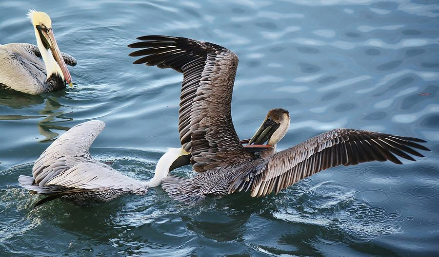 Pelican Photograph - Gotcha by Paulette Thomas