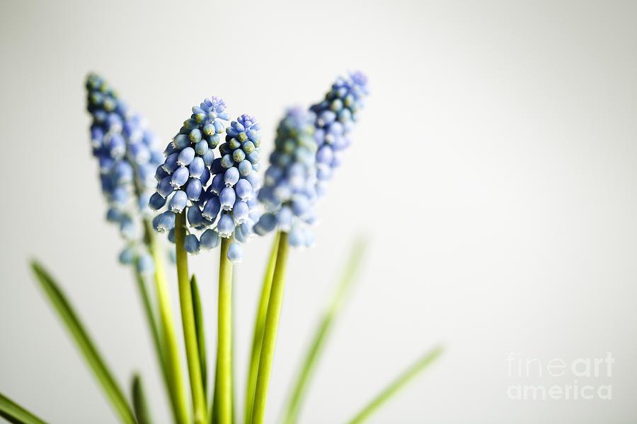 Hyacinth Photograph - Grape Hyacinth by Nailia Schwarz