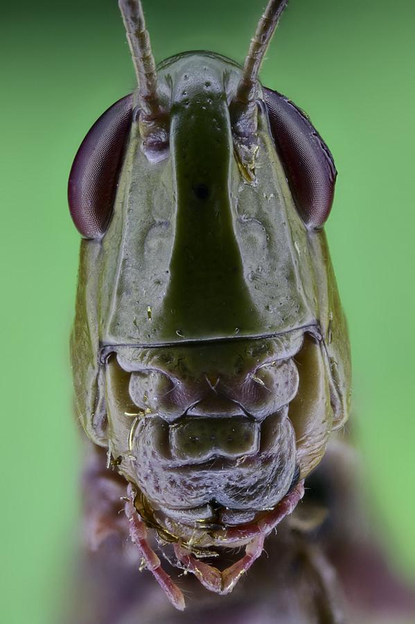 Anatomical Photograph - Grasshopper Head by Science Photo Library