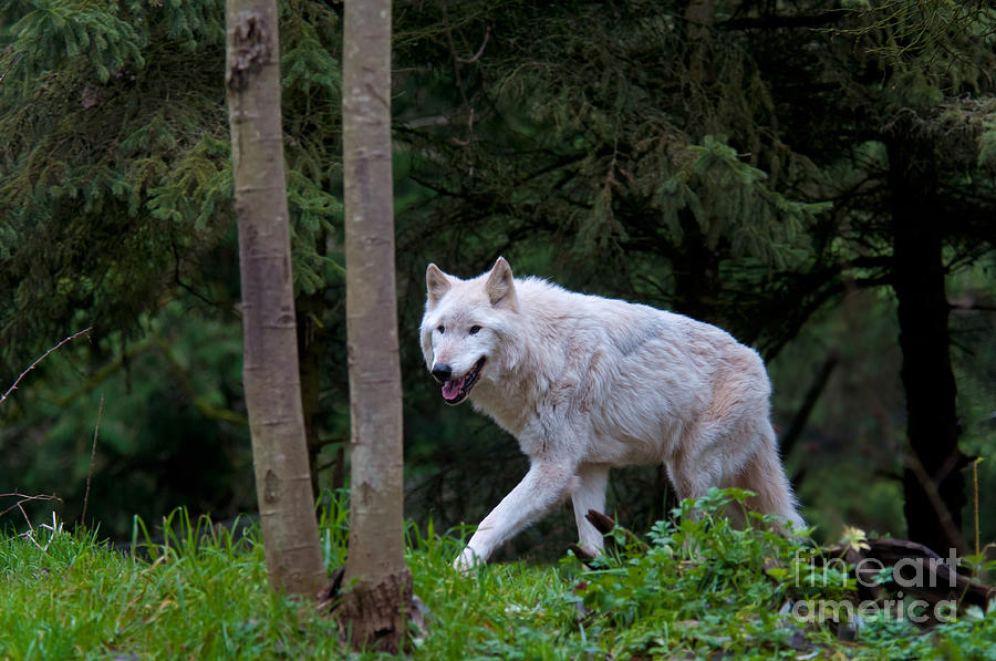 Nature Photograph - Gray Wolf White Morph by Mark Newman