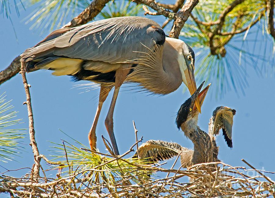 Nature Photograph - Great Blue Heron Adult Feeding Nestling by Millard H. Sharp