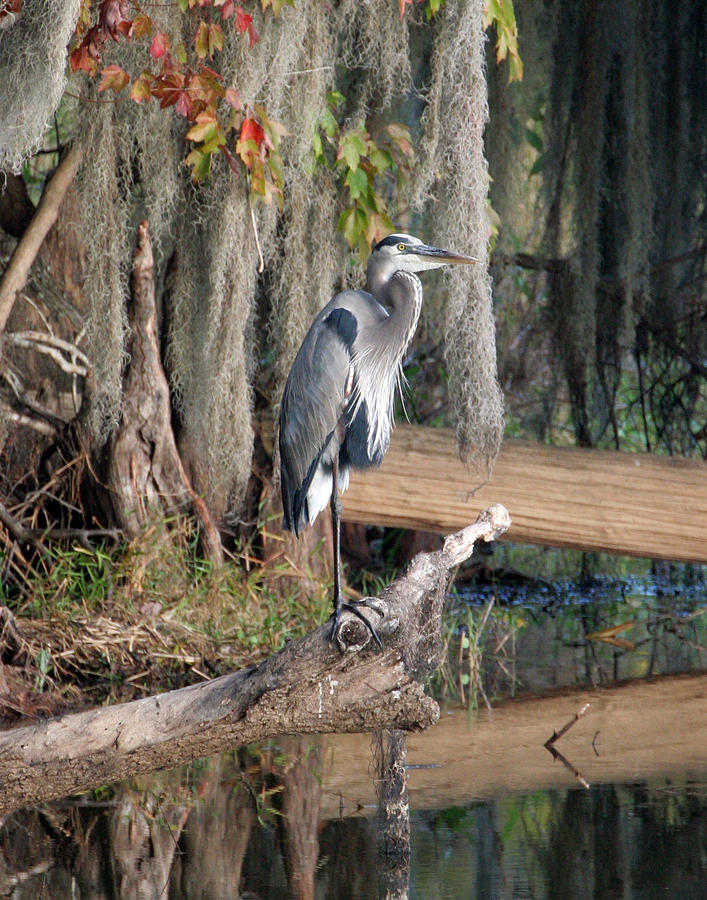 Great Blue Heron Photograph - Great Blue Heron by Jeff Wright