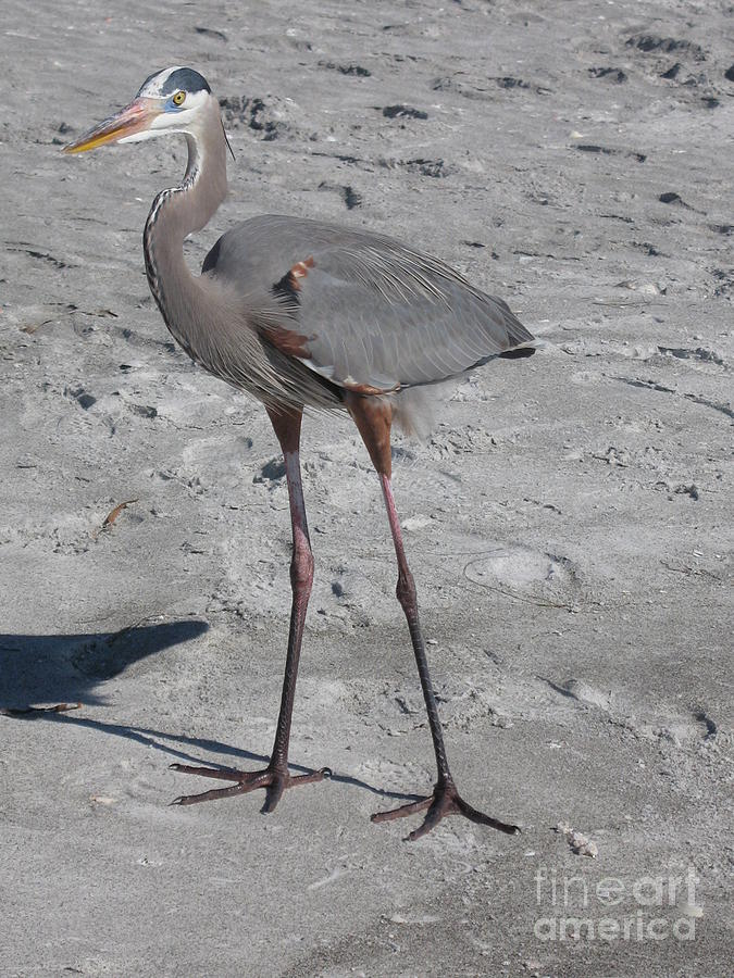 Heron Photograph - Great Blue Heron On The Beach by Christiane Schulze Art And Photography