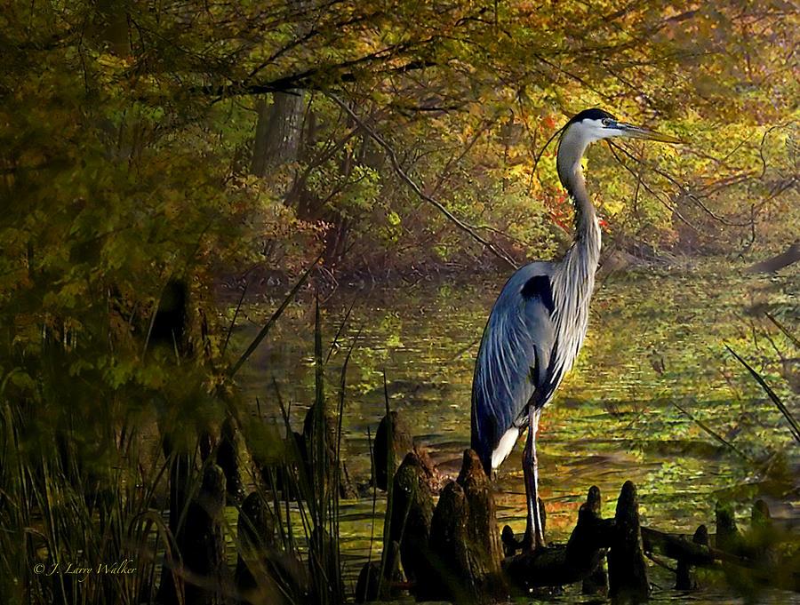 Great Blue Heron Wading by J Larry Walker