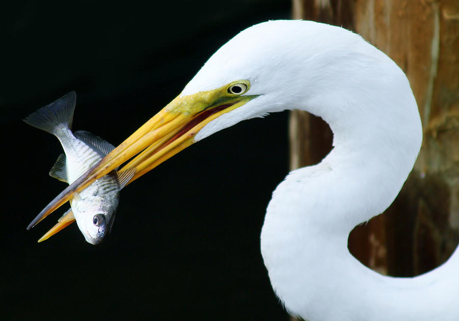 Great White Egret Photograph - Great Catch by Paulette Thomas