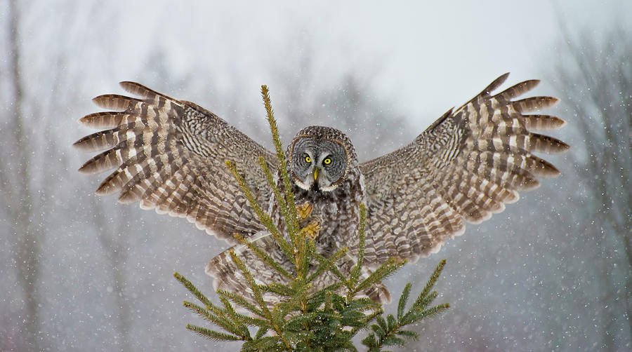 Great Gray Owl Photograph by Copyright Michael Cummings