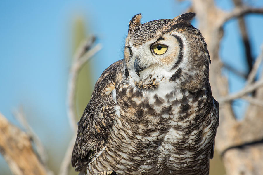 Animal Photograph - Great Horned Owl by Mark Hammon
