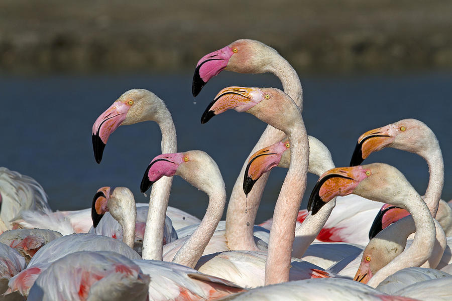Greater Flamingo Photograph - Greater Flamingos, France by M. Watson