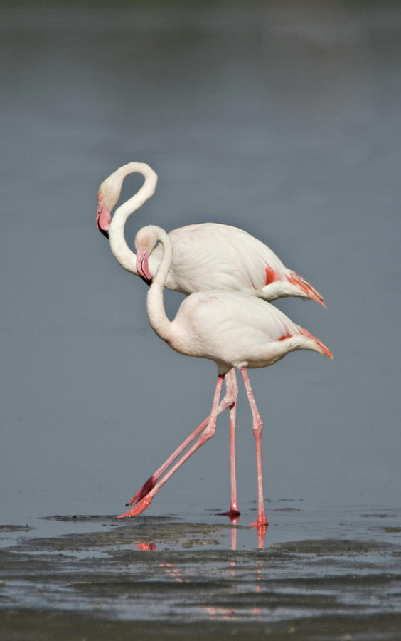 Vertical Photograph - Greater Flamingos Phoenicopterus Roseus by Animal Images