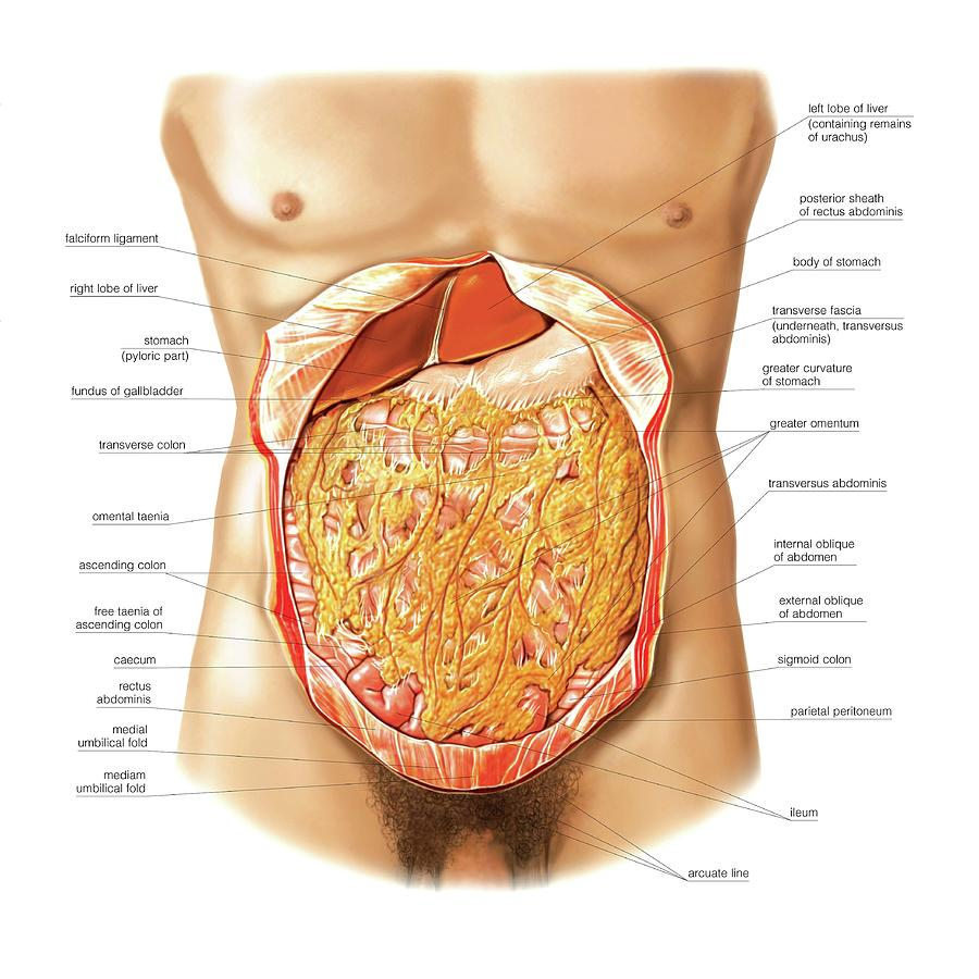 Greater Omentum Photograph by Asklepios Medical Atlas