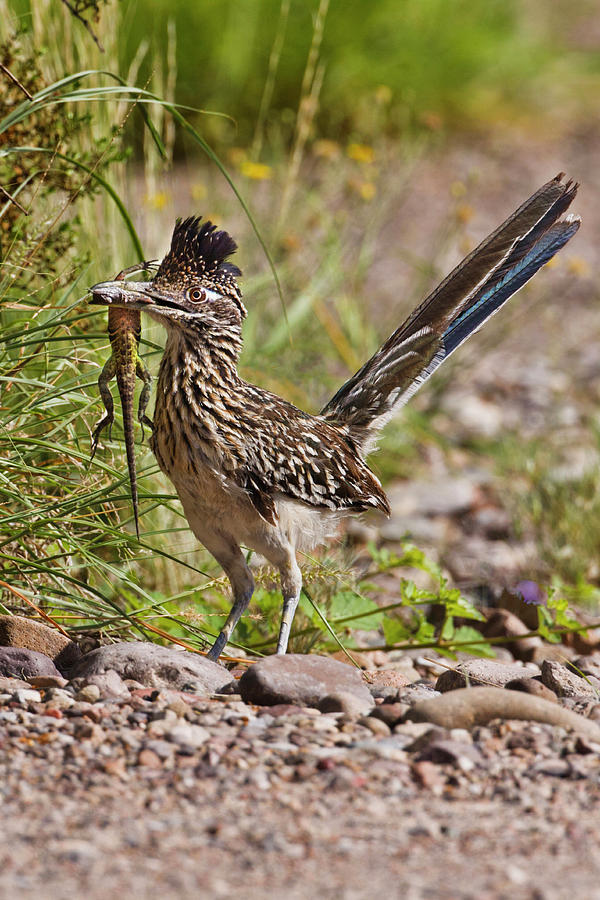 Adult Photograph - Greater Roadrunner (geococcyx 1 by Larry Ditto