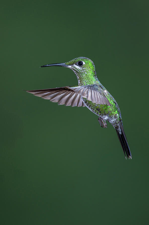 Green-crowned Brilliant Hummingbird Photograph by Michael Mike L. Baird Flickr.bairdphotos.com