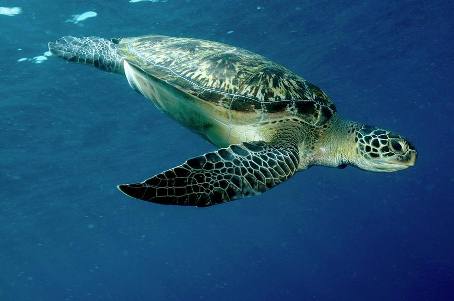 Green Sea Turtle Photograph - Green Sea Turtle by Louise Murray/science Photo Library
