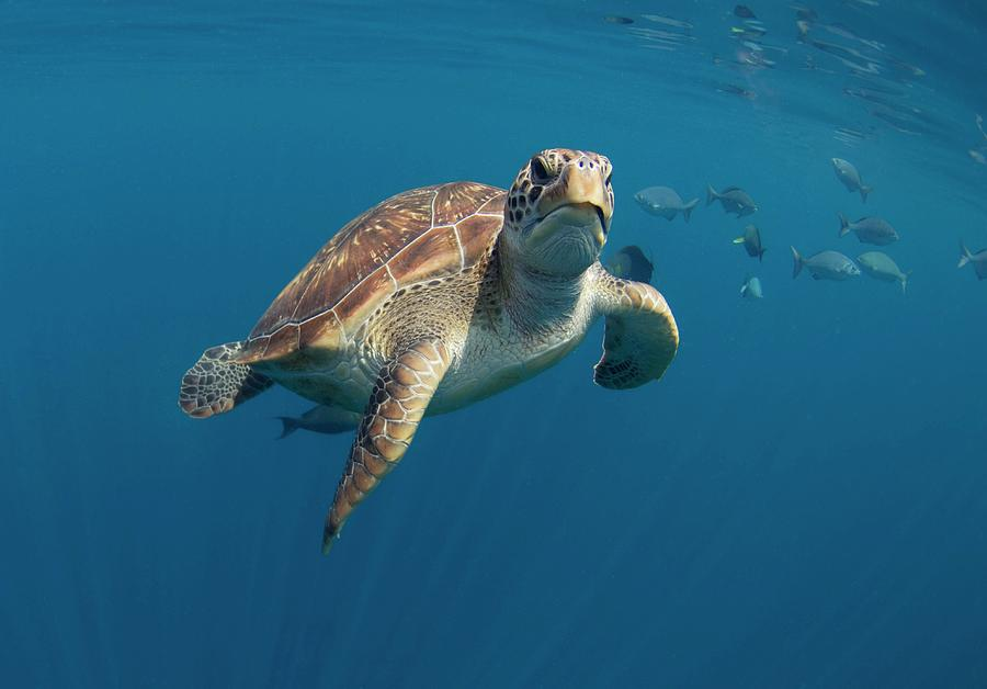 Chelonia Mydas Photograph - Green Turtle Swimming by Peter Scoones/science Photo Library
