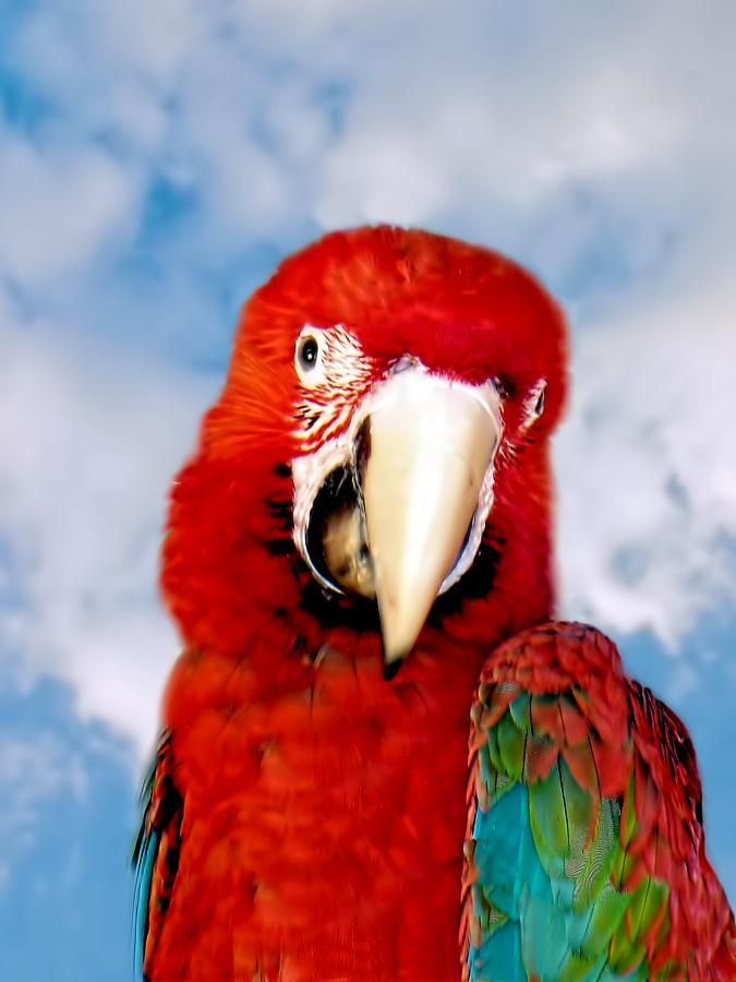 Green Winged Red Macaw by David Rich