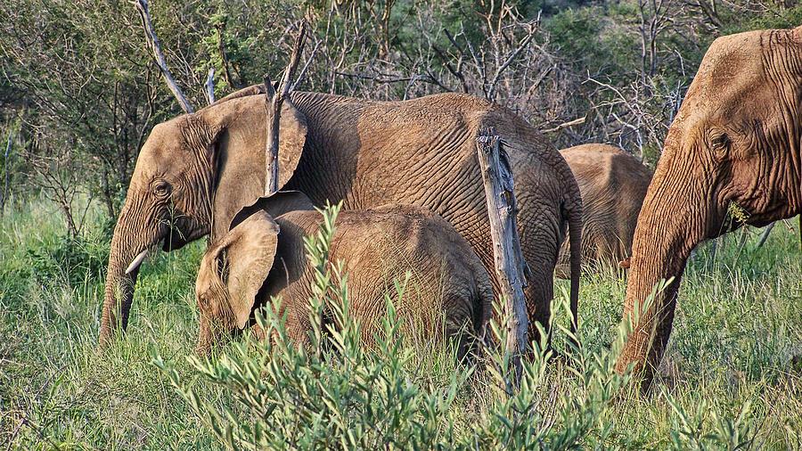 Elephant Bull Photograph - Greener Pastures by Douglas Barnard
