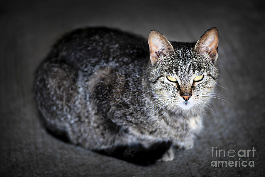 Cat Photograph - Grey Cat Portrait by Elena Elisseeva