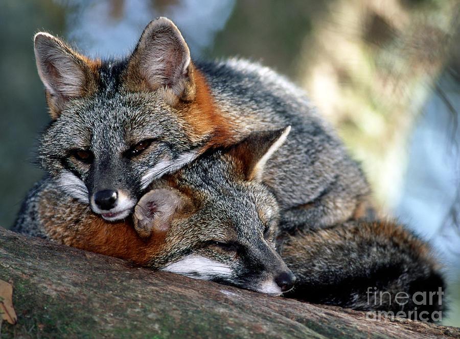 Grey Fox Photograph - Grey Foxes by Millard H. Sharp