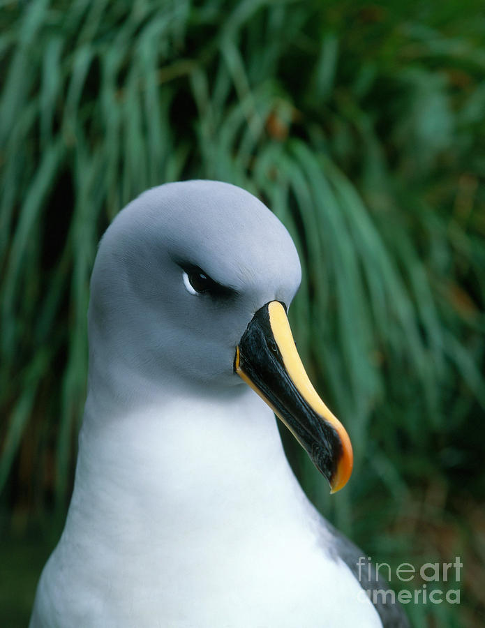 Grey Headed Albatross Photograph - Grey-headed Albatross by Hans Reinhard