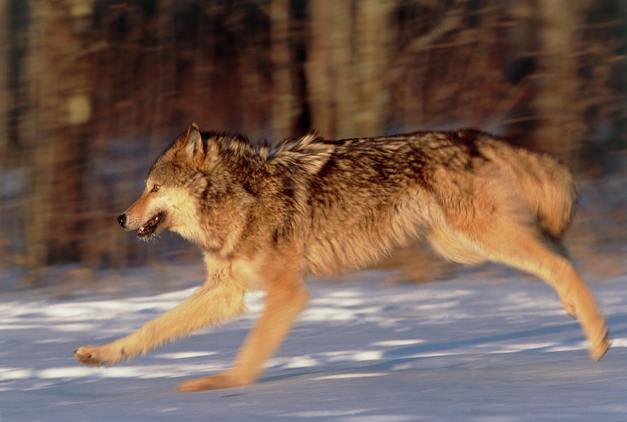 Grey Wolf Photograph - Grey Wolf Running by William Ervin/science Photo Library
