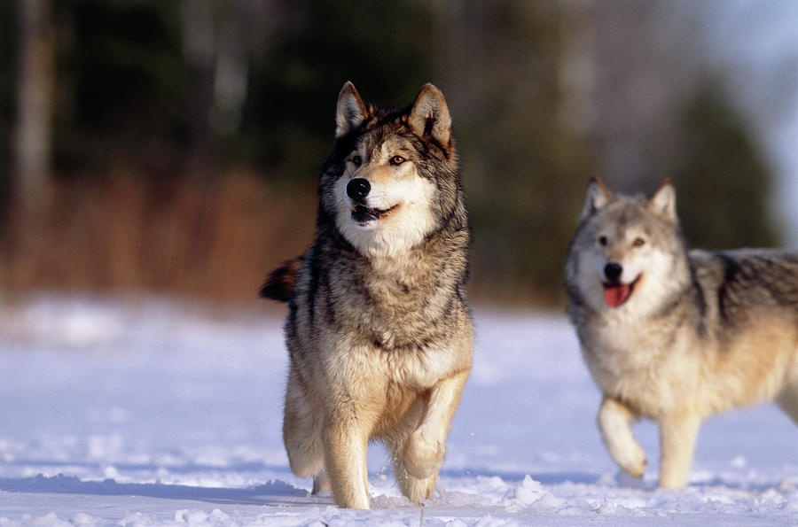 Grey Wolf Photograph - Grey Wolves In Snow by William Ervin/science Photo Library