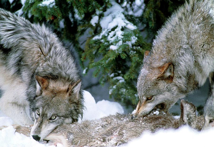 Grey Wolf Photograph - Grey Wolves With A Kill by William Ervin/science Photo Library