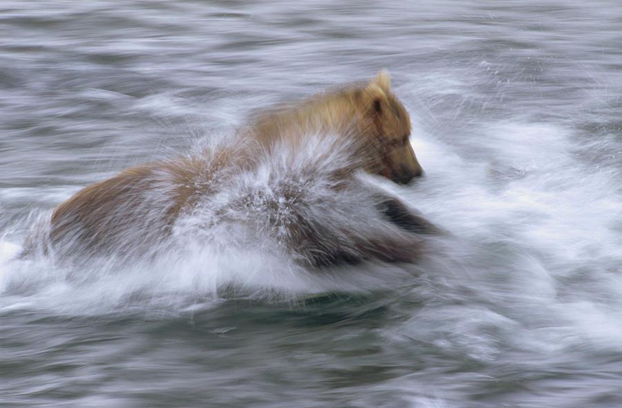 Alaska Photograph - Grizzly Bear Chasing Fish by Matthias Breiter