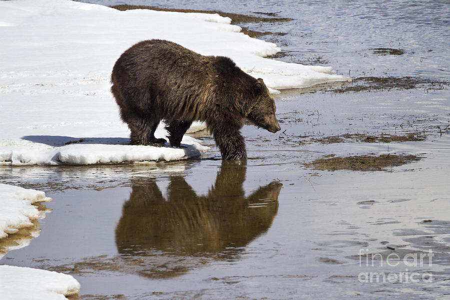 Adult Photograph - Grizzly Bear Stepping Into Water by Mike Cavaroc