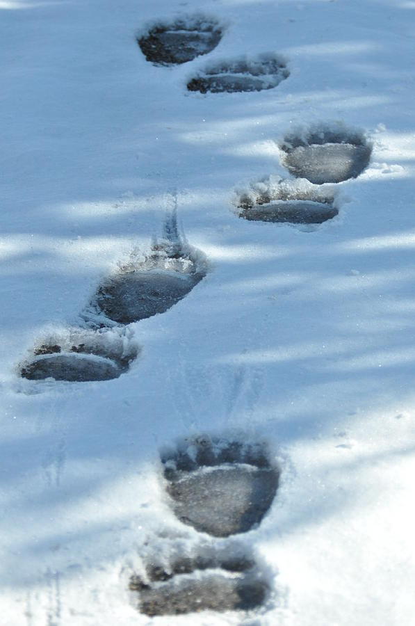 Blue Photograph - Grizzly Bear Tracks by Frank Madia
