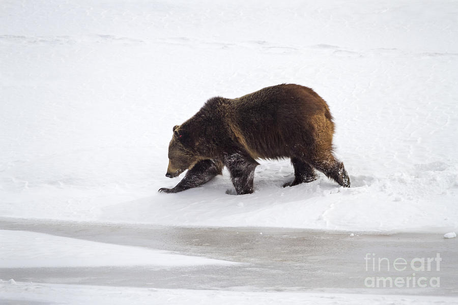 Adult Photograph - Grizzly Bear Walking In Snow by Mike Cavaroc