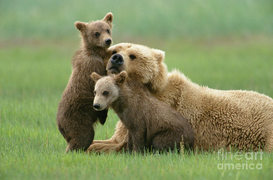 Mp Photograph - Grizzly Cubs Play With Mom by Yva Momatiuk John Eastcott