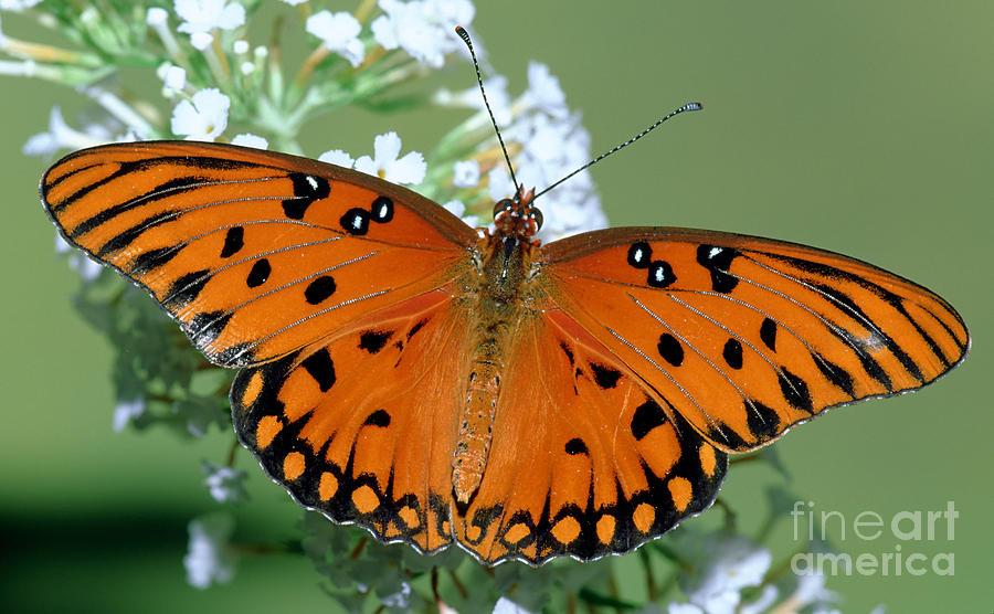 Animal Photograph - Gulf Fritillary Butterfly by Millard H. Sharp