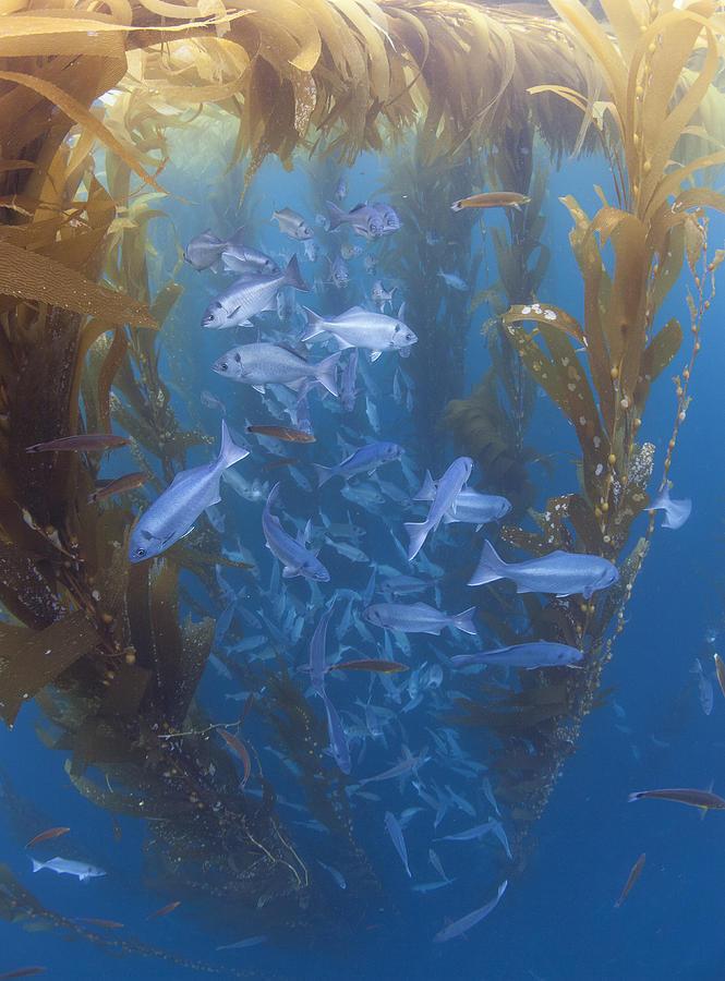 Halfmoon School And Giant Kelp Cortes Photograph by Richard Herrmann