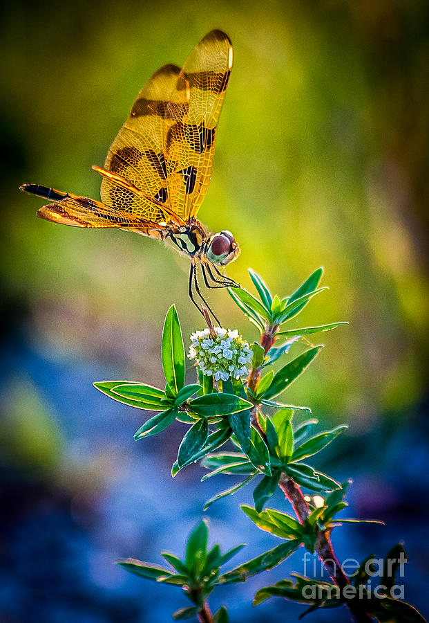Wetlands Photograph - Halloween Banner Dragonfly by Shawn Lyte
