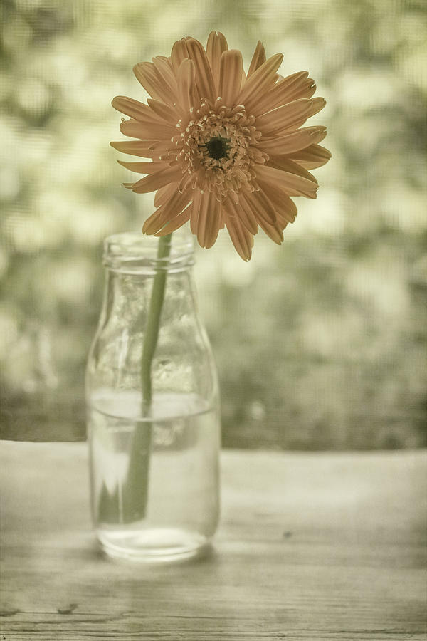 Gerbera Daisy Photograph - Happiness by Kim Hojnacki