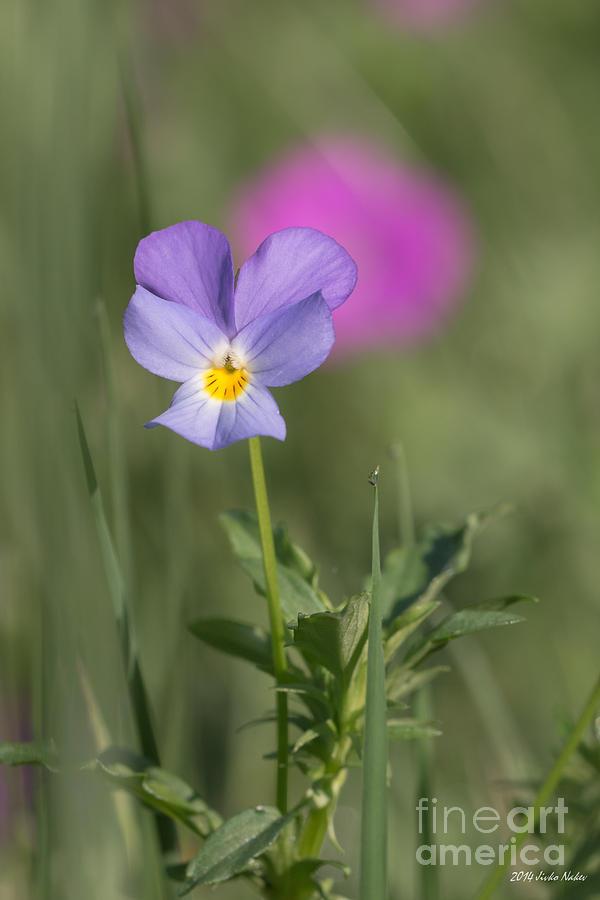 Bulgaria Photograph - Hearts Ease Wild Viola by Jivko Nakev
