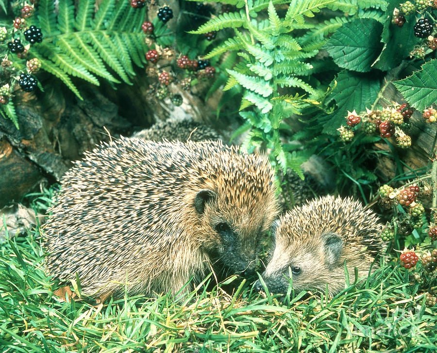 Animal Photograph - Hedgehog With Young by Hans Reinhard