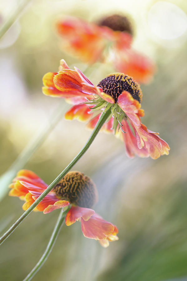 Summer Photograph - Helenium* by Mandy Disher
