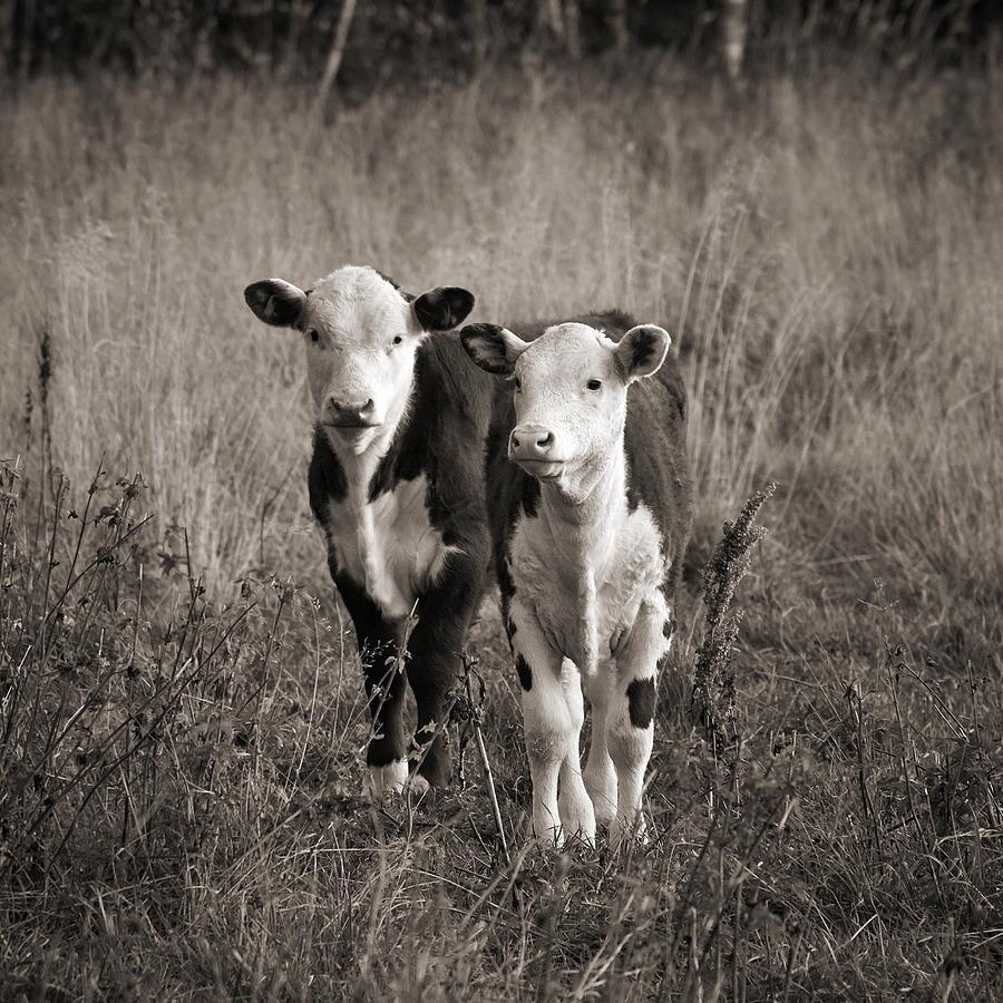 Lehto Photograph - Herefords by Jouko Lehto