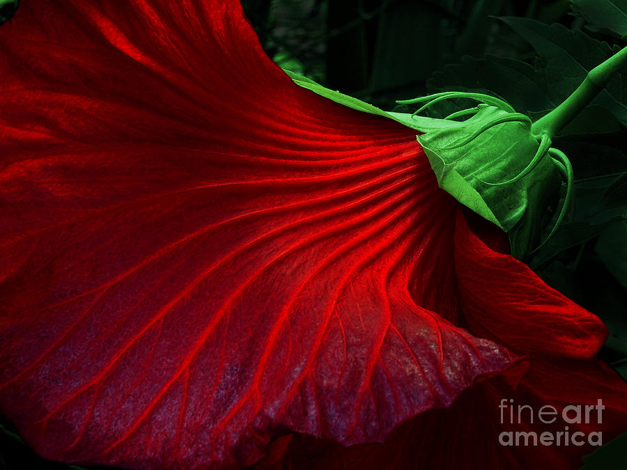 Hibiscus Photograph - Hibiscus Red by Mike Nellums