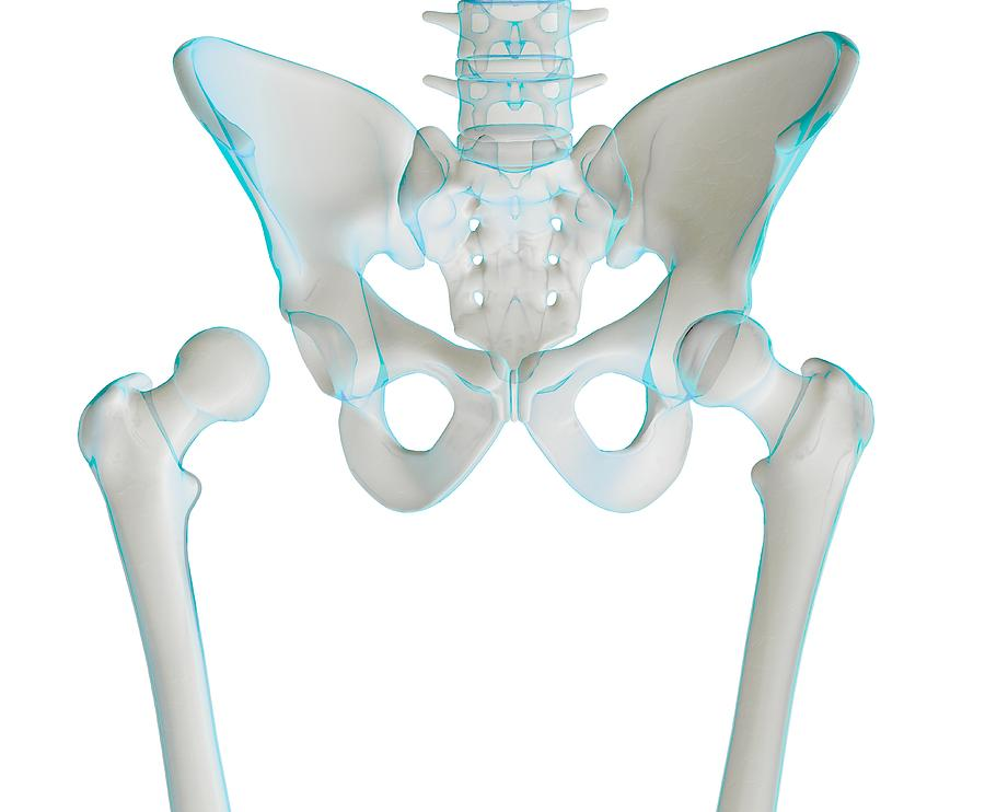 Femur Photograph - Hip Joint Bones And Anatomy, Artwork by Science Photo Library